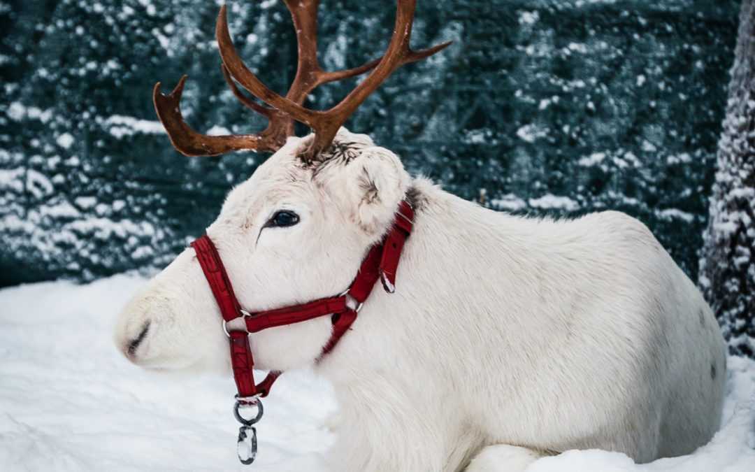 Elf's Farm Yard – meet reindeer & animals in Rovaniemi!