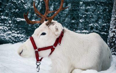 Elf's Farm Yard –meet reindeer & animals in Rovaniemi!