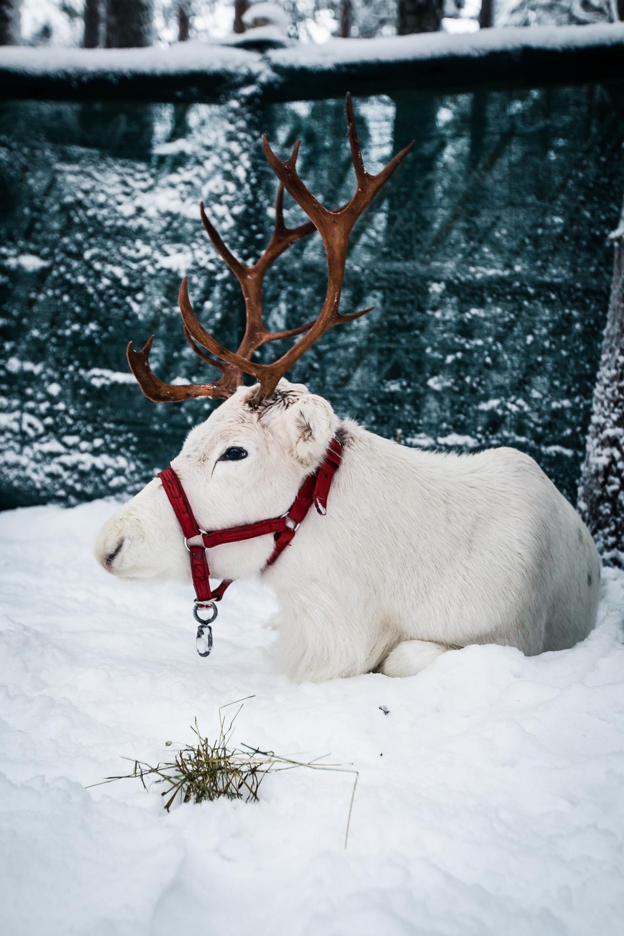 Elf's Farm Yard – meet reindeer & animals in Rovaniemi! – All ...